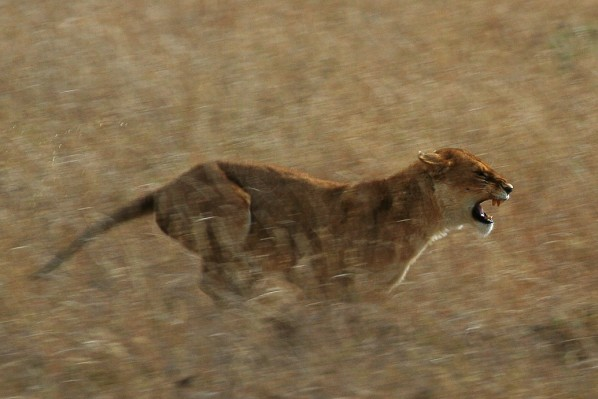 Serengeti Löwe (Schuyler Shepherd)